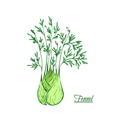 Absinthe ingredients fresh sweet fennel vector