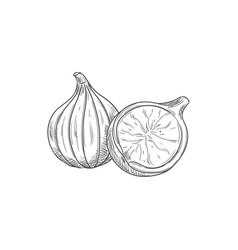 Figs whole and cut isolated sketch exotic food vector