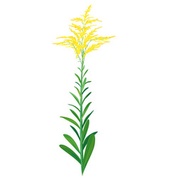 goldenrod plant isolated vector image