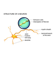 structure of nerve cells vector image