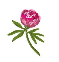 the single flowering bright pink peony vector image