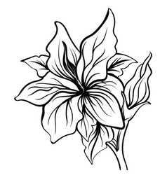 lily sketch flower lily flower hand drawing vector image vector image