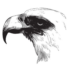 Head of a bald eagle vintage vector