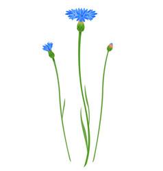 cornflower flower isolated vector image