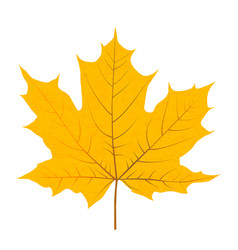 yellow autumn leaf isolated on white background vector image