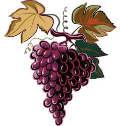 Mature grapes vector