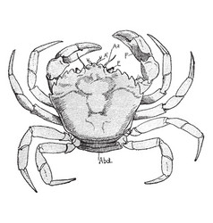 Shore crab vintage vector