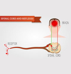 infographics spinal cord and reflexes central vector image