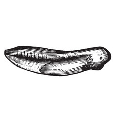 a developing tadpole vintage vector image