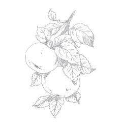Apple on branch of the aple trees vector