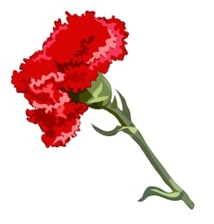 Single flower red carnation vector image