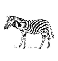 african zebra wild animal on white background vector image