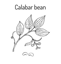 Calabar bean physostigma venenosum medicinal vector