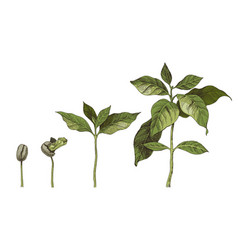 Hand drawn coffee seedlings 4 stages growing vector