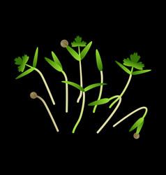 Microgreens cilantro bunch of plants black vector
