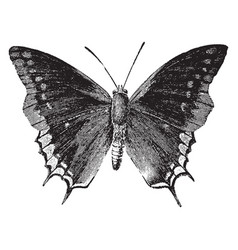 Mourning cloak vintage vector
