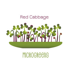 Microgreens red cabbage sprouts in a bowl vector