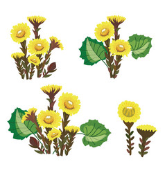 set of tussilago collection of medicinal plants vector image