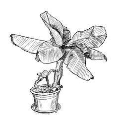 Hand drawing of banana tree in large pot vector