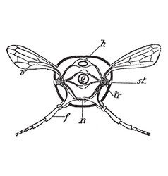 Insect section vintage vector