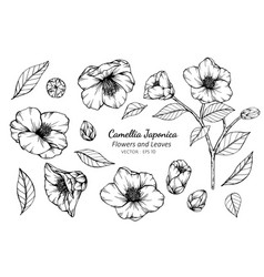 Collection set of camellia japonica flower vector