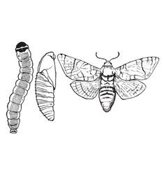 Goat moth stages vintage vector