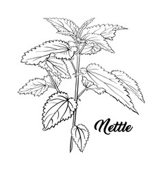 green nettle tea branch herbal theme isolated vector image