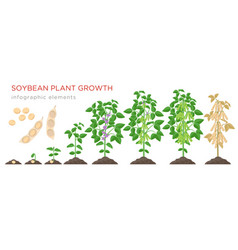 Soybean plant growth stages infographic elements vector