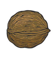 walnut nut color sketch engraving vector image