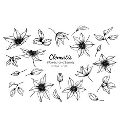 Collection set of clematis flower and leaves vector