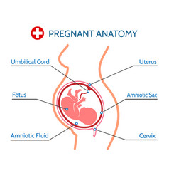 Pregnancy anatomy medical vector