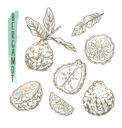 sketch of bergamot elements set of citrus vector image