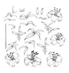 collection of lily flowers vector image