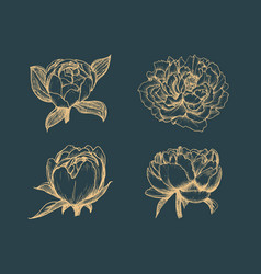 peony drawings set in sketches flowers vector image