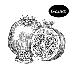 Hand drawn sketch style fresh garnet vector