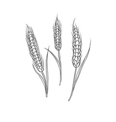 wheaten spike cereal crop black sketch vector image