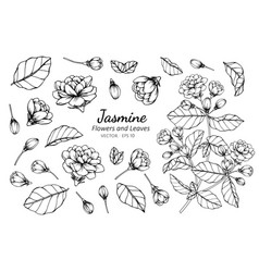 Collection set of jasmine flower and leaves vector
