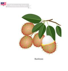 Fresh Rambutan A Famous Fruit in Malaysia vector image