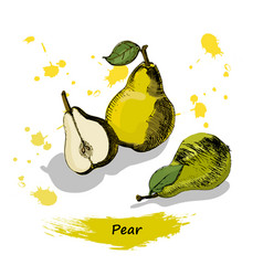 pear sketchvintage ink hand drawn pear isolated vector image