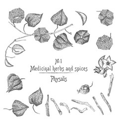 Set physalis hand drawn patterns with berries vector