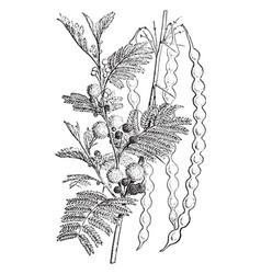 Acacia vintage vector