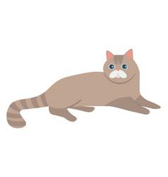 Scottish straight cat isolated feline vector