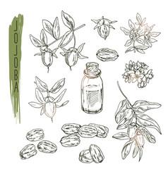 set of jojoba elements realistic sketch of vector image