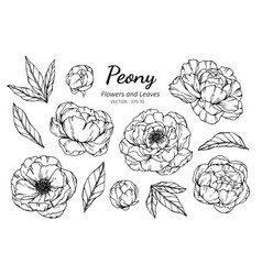collection set of peony flower and leaves drawing vector image
