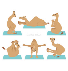 Camelids family collection dromedary camel yoga vector