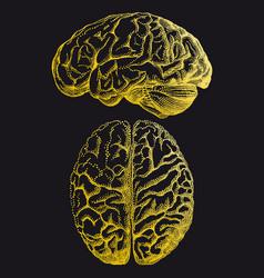 gold human brain vector image