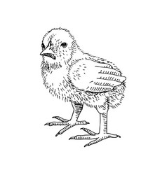 hand drawn chicken in retro style vector image