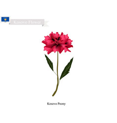peony flowers the national flower of kosovo vector image