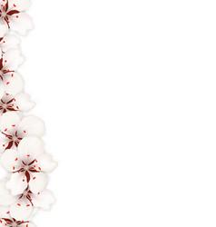 sakura flowers background cherry blossom isolated vector image vector image