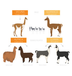 Camelids family collection llama infographic vector